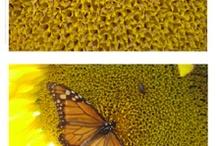 sunflowers, my favorite / by Jennifer Canez