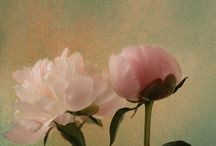 Peony / Peonies.   Beautiful flower.   Also one of my favs! / by Christi K. Mullen