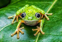 Frog love