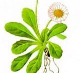 geneeskrachtige bloemen