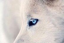 vlk a iné