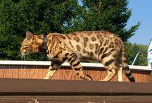 Oculus Bengal Cat Kitten Breeder Poland Bengalcat kot bengalski / Ben24 & snow bengalcat bengal kitten poland