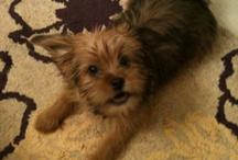 Charlie / Yorkie Poodle mix Charlie #Yorkiepoo