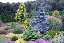 Heatheres, conifers, evergreens