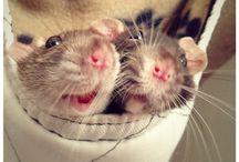 Rattis *_*