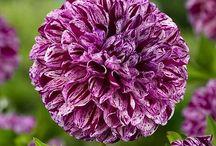 Mijn collectie Dahlia's - paars/lila/fuchsia