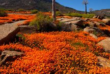 South Africa - Namaqualand Daisies
