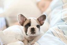 Frenchies / by Becky Robinson
