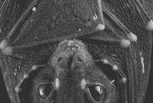 Fledermäuse