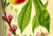 Illustrations: Botanicals