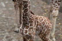 Cute Critters / I like giraffes more than I like people.  / by Avery Parman