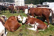 Mountain rural traditions / Fiera di San Bartolomeo: cows, alpine tradition, handcraft market