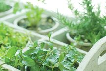 Herbs growing
