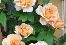 rose crepuscule