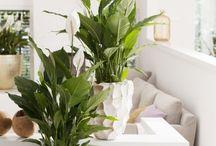 Lepelplant - Spathiphyllum / De mooie, luchtzuiverende Lepelplant (Spathiphyllum) is geschikt voor ieder interieur!