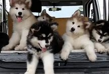 The Team  / Malamute Sled Team in the making...