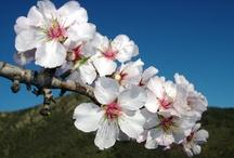 Flowerpower Mandelblüte