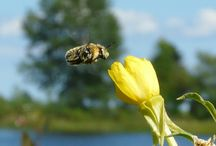Bees & Other Buzzing things / Bees and other flying insects taken out at Aronsons Island in Escanaba / by Bud Lemire