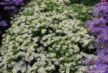 Aster- Trvalka sezóny 2013 / Aster- Trvalka sezóny 2013, některé druhy jsou nově botaniky řazeny pod rod Symphyotrichum