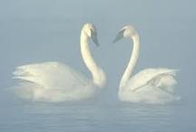 Swans, Schwan, Swaan, Svan, Swen, Cygnus = Beautiful Bird