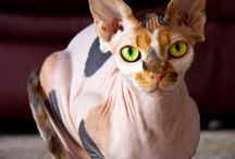 Hairless Cats  / This board is for Josh, who I know would love one of these guys!
