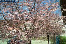 Sakura days 2015 / Sakura's (Cherry Blossoms)