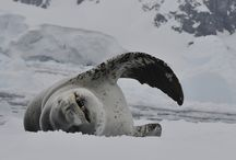 Antartica / Discover the majesty of the emperor penguin, the gracefulness of the humpback whale, and the sheer size of the icebergs on your luxury Antarctica cruise with Austin Adventures. Hike, kayak and zodiac your way around the world's southern-most continent and find out for yourself why it's been a source of fascination for explorers for well over a century.