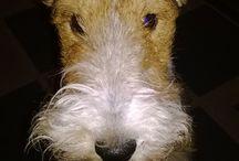 Heca. Fox terrier wire.
