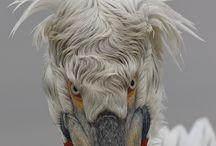 pelikáni