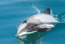 Save Maui's Dolphin / Only found in NZ waters. On the international 'critically endangered' list. 55 remain.