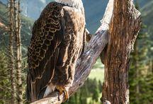Eagles, Owls etc.