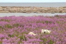 Polar Bears playing in field of flowers.