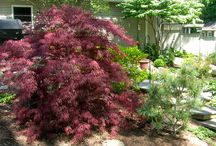 Japanese Maples / Japanese Maples