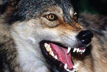 Wolf / Me encantan