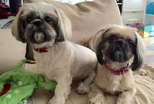 Gucci & Holly / Shih tzu ❤️
