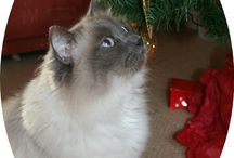 Feline festive?! / Here are some lovely pictures of cats at Christmas, shared with us by some of our supporters.   To upload your festive felines visit: http://www.icatcare.org/christmas-cats