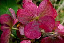 Hydrangea - Ogrodnictwo w Gaju / Hortensja - nasze rośliny