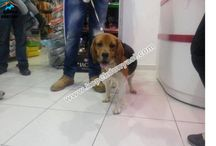 Beagle / Beagle