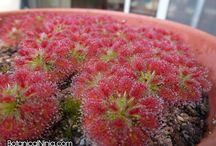 carnivor plants