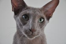 Siamese and eastern shorthair cats