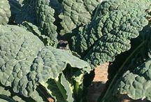 Kale is back!