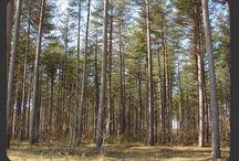 La Forêt en Sologne / Omniprésente, la forêt domine largement l'espace et occupe  presque les trois quarts de la Sologne. On distingue, 1) la chênaie claire acidophile sur sol humide ou sec. 2)  la pinède,composée essentiellement de Pins sylvestres et laricio de Corse, localement remplacés par des Pins maritimes, des Pins noirs d'Autriche ou des Sapins de Douglas.3)  la forêt alluviale, localisée le long des cours d'eau et parfois en bordure d'étangs, 4) la chênaie - charmaie, formation la plus riche en biodiversité