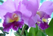 Orchids / Here I will share my uncle passion which is orchids..... He's an orchid breeder n successfully has created his own crossing.... Please visit his website... www.milosbaliorchids.com