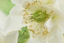&CHRISTMAS ROSE / Light up your garden in winter with this beautiful flowering plant!