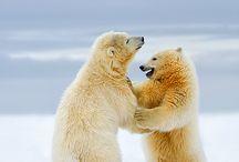 Imágenes de osos polares