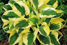 Garden Hostas for Part Shade - Shade / Hostas Tolerate shade, but most prefer a bit more sun. Be careful, they are highly addictive. You'll never stop at just one! / by Garden Expressionist