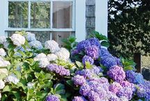 The Garden - Hydrangeas / by Aunt Viv