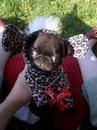 Puffy Pug!