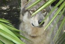 Visit a Wolf Sanctuary ~