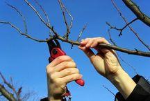 taille des arbres fruitiers